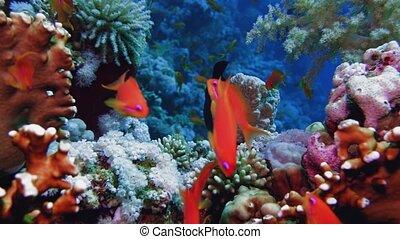 exotique, rouges, fishes., coloré, 4k, mer, sous-marin, egypt., sea.