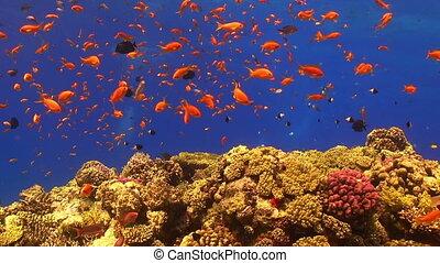 exotique, vibrant, fish, récif corail