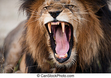 fâché, rugir, lion