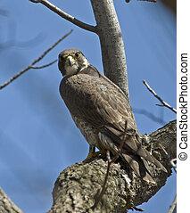 faucon, peregrine, branche arbre