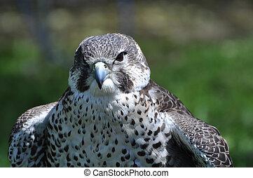 faucon, peregrine
