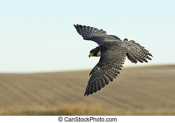 faucon, voler, peregrine