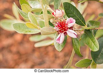 feijoa, arbre, fleurs, fleur