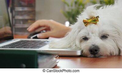 femme, chien bureau, dormir, pc, dactylographie, 4-business