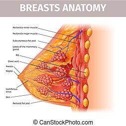 femme, section, croix, haut, nichons, anatomy., fin, vue
