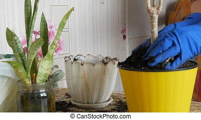 femme, vieux, greffes, printemps, intérieur, pots, fleur, nouveau, fleurs