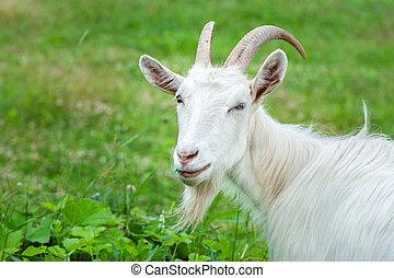 ferme, appareil photo, herbe, été, chèvre, jour, manger, regarder, ensoleillé