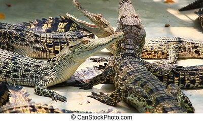 ferme, crocodiles, jeune