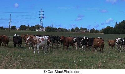 ferme, distance, pelouse, paître, vaches
