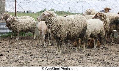 ferme, troupeau, corral, mouton