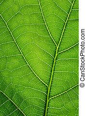 feuille, chêne, texture, arrière-plan., vert, closeup.