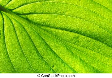 feuille, texture, vert