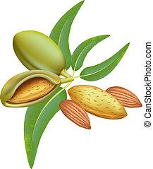feuilles, almonds., branche, fruits.