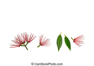 feuilles, arbre, pohutukawa, fond, fleurs blanches, rouges