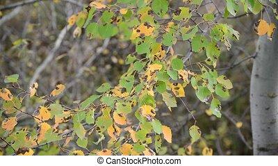feuilles automne, peuplier, vent