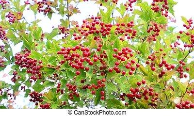 feuilles, boule de neige, arrière-plan vert, baies, rouges