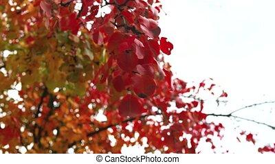 feuilles, ciel, sous, automne, rouges, mouvementde va-et-vient, branche, vent, pomme