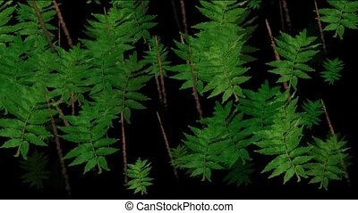 feuilles, conifère, animation, vert