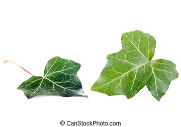 feuilles, lierre