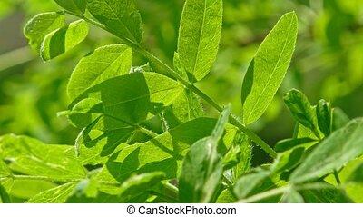 feuilles, luxuriant, closeup, backlit, vert, vent