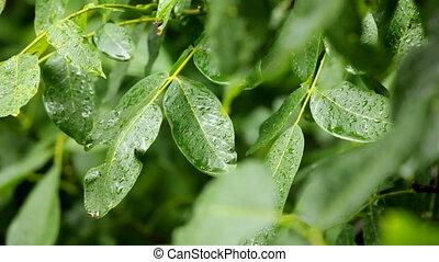 feuilles, pluie
