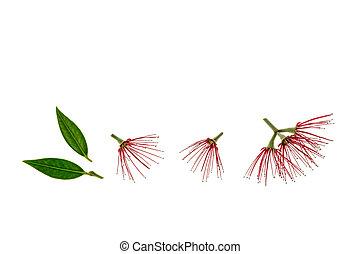 feuilles, pohutukawa, fond, fleurs blanches, rouges