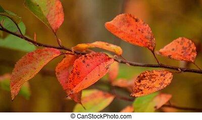 feuilles rouge, beau, jardin, cerise, automne