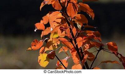 feuilles rouge, beau, jardin, poire, automne