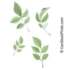 feuilles, vecteur, aquarelle, isolé