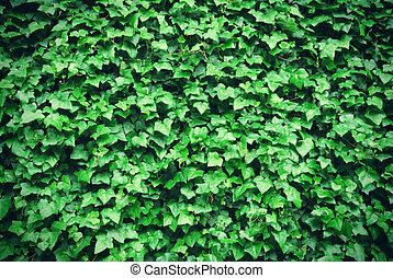 feuilles, vert, épais, fond, lierre