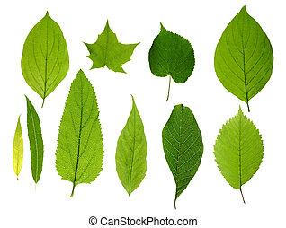 feuilles, vert, isolé