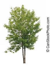 feuilles vertes, arbre, isolé