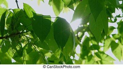 feuilles vertes, closeup, vent