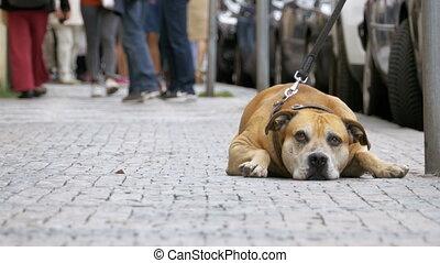 fidèle, foule, gens, triste, chien, attaché, rue, passe, indifférent