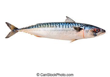 fish, maquereau