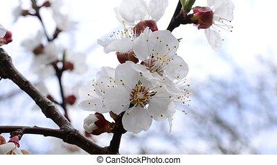 fleur, abricot, fleurs, arbre