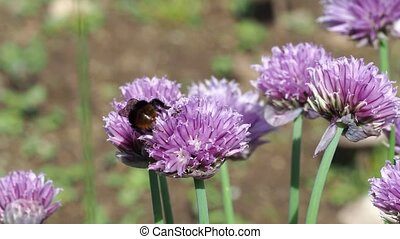 fleur, (allium, ciboulette, schoenoprasum), bourdon, féconder