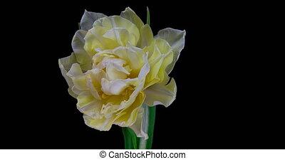 fleur blanche, tulipe, noir, arrière-plan., timelapse, fleurir