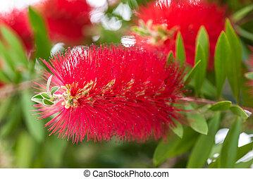 fleur, bottlebrush, callistemon), (