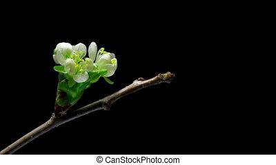 fleur, cerise, fleurs, bourgeon, croissant