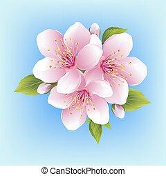 fleur, cerise, japonaise, isolé