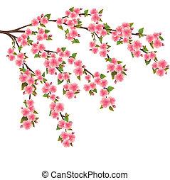 fleur, cerise, sur, -, japonaise, arbre, sakura, blanc