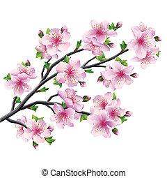 fleur, cerisier, japonaise, isolé, sakura