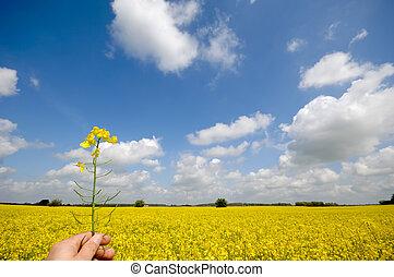 fleur, colza, main