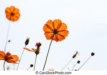 fleur, cosmos