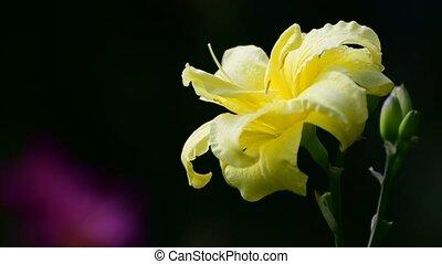 fleur, daylily, parterre fleurs, jaune