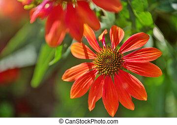 fleur, ensoleillé, arrière-plan rouge, barbouillage