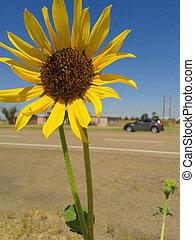 fleur, entiers, grand, jaune, tournesol