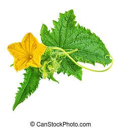 fleur, feuille, isolé, vert jaune, concombre
