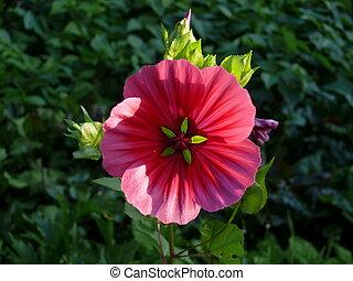 fleur, fleur, rouges, puissance